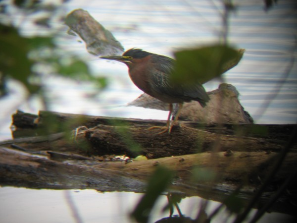 Green Heron @ Lake Roland