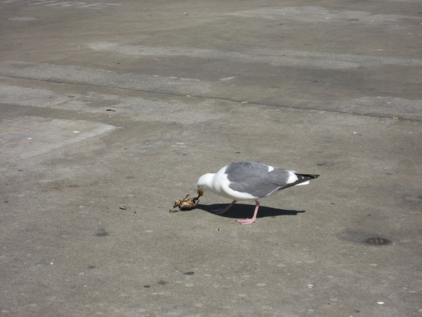 © 2012 S. D. Stewart, Western Gull finds crab