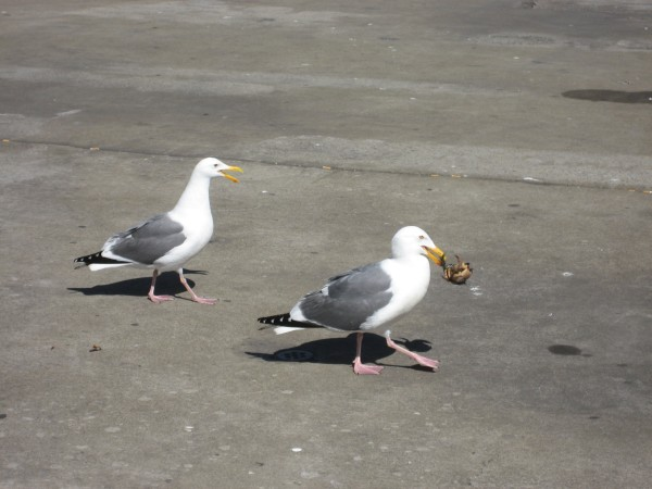 © 2012 S. D. Stewart, Western Gulls with crab