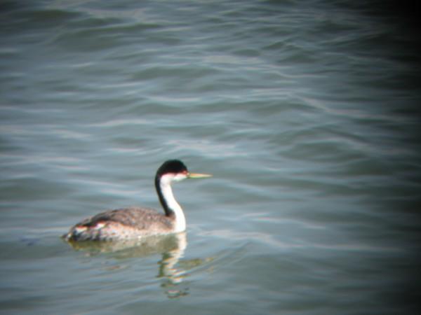 © 2012 S. D. Stewart, Western Grebe, San Francisco Bay