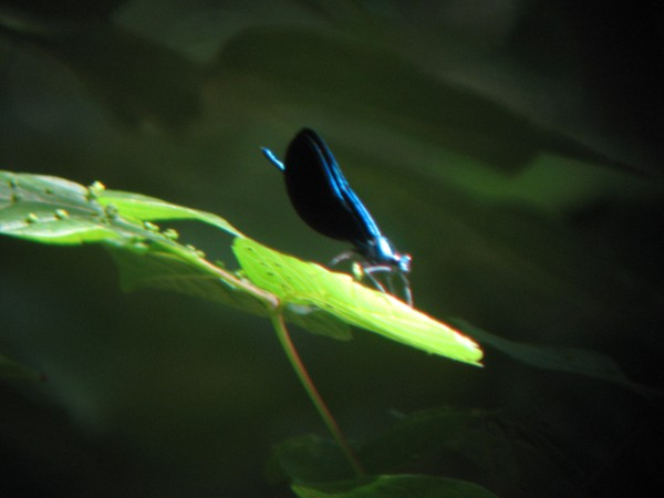 © 2012 S. D. Stewart, Ebony Jewelwing (Calopteryx maculata), Male, at Lake Roland, Baltimore County, MD