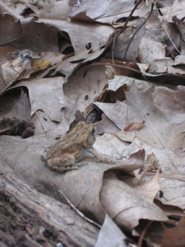 © 2012 S. D. Stewart, American Toad/Fowler's Toad, Gunpowder Falls State Park, Harford County, MD