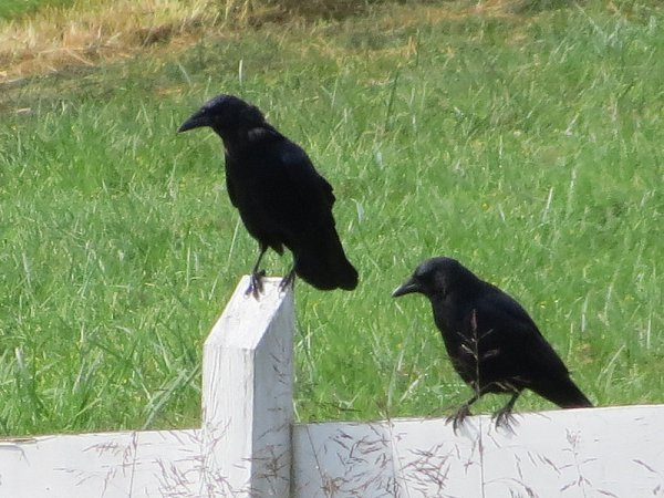 Crows on a fence, © 2015 S. D. Stewart