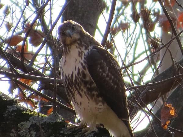 Red-tailed Hawk, © 2015 S. D. Stewart