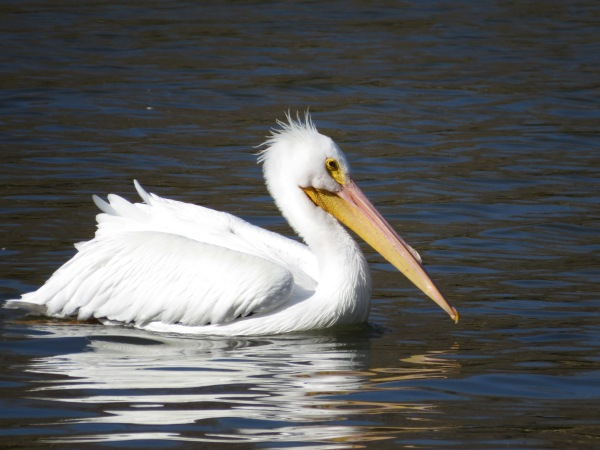 American White Pelican, © 2015 S. D. Stewart