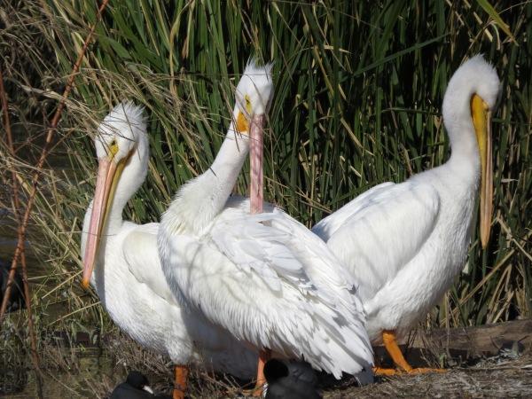 American White Pelicans, © 2015 S. D. Stewart