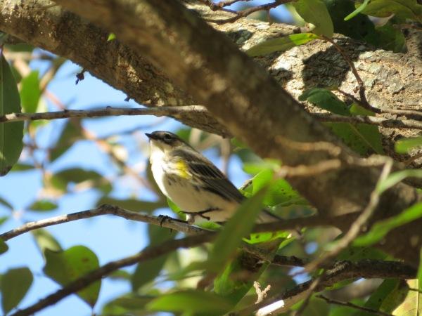 Yellow-rumped Warbler, Dallas, TX, © 2015 S. D. Stewart