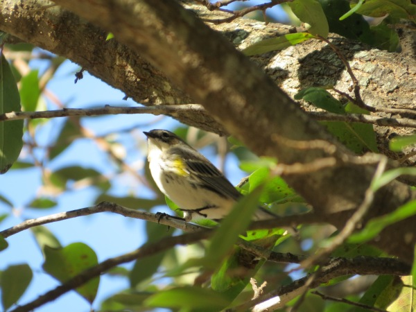 Yellow-rumped Warbler, Dallas, TX, © 2015 S. D. Stewart