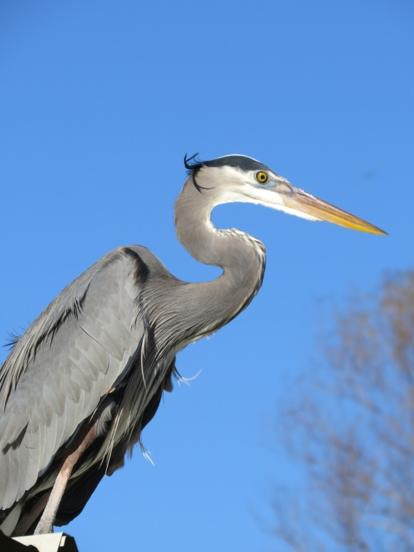 Great Blue Heron, © 2015 S. D. Stewart