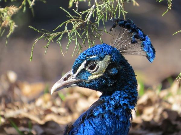 Indian Peacock, © 2015 S. D. Stewart