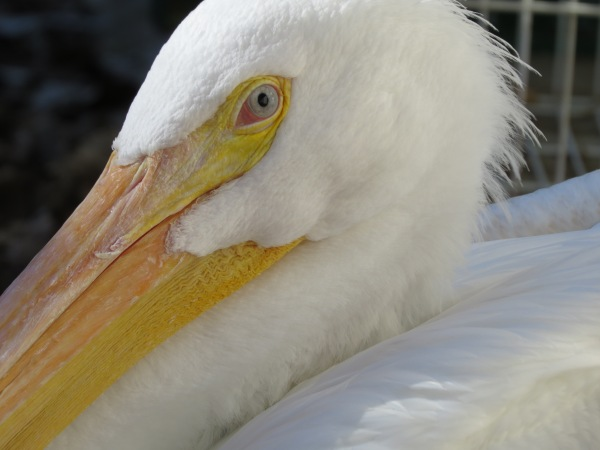 American White Pelican at Rogers Wildlife Rehabilitation Center, Hutchins, TX, © 2015 S. D. Stewart