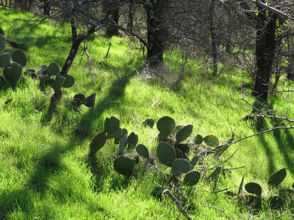Prickly Pear Cactus (Opuntia), © 2015 S. D. Stewart
