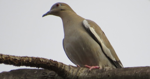 White-winged Dove, Dallas, TX, © 2015 S. D. Stewart