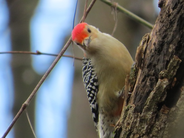 Red-bellied Woodpecker, © 2016 S. D. Stewart
