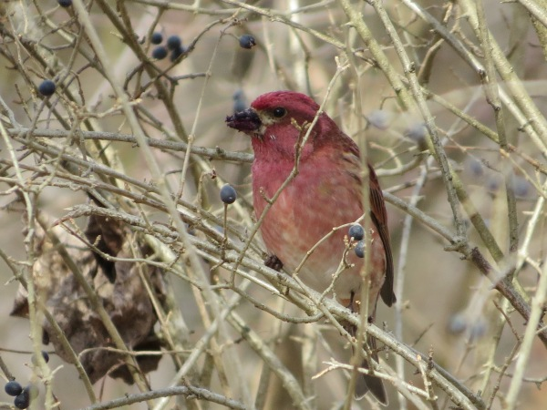 Purple Finch with bill covered in berry remnants, © 2016 S. D. Stewart