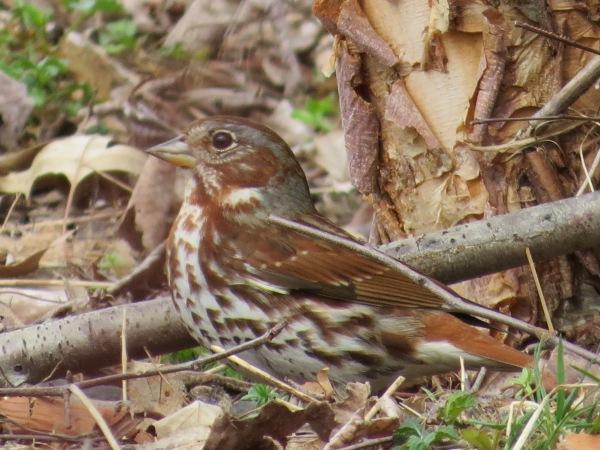 Fox Sparrow (Red), © 2016 S. D. Stewart