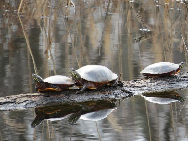 Eastern Painted Turtles, © 2016 S. D. Stewart