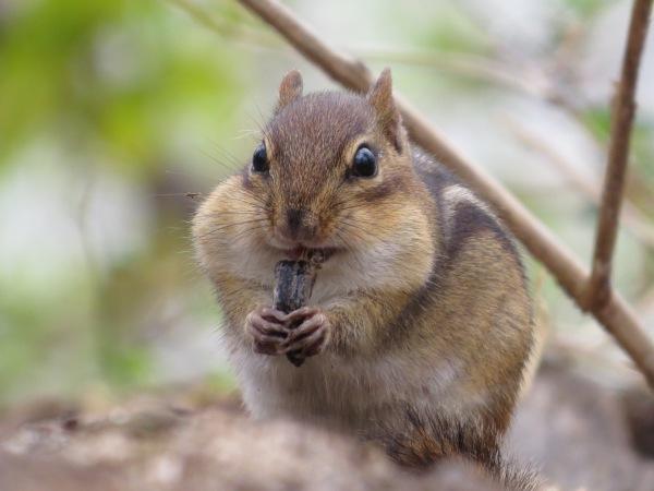 Eastern Chipmunk, © 2016 S. D. Stewart