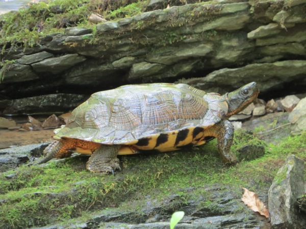 Wood Turtle, © 2016 S. D. Stewart