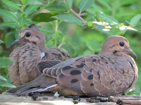 Juvenile Mourning Doves, © 2016 S. D. Stewart