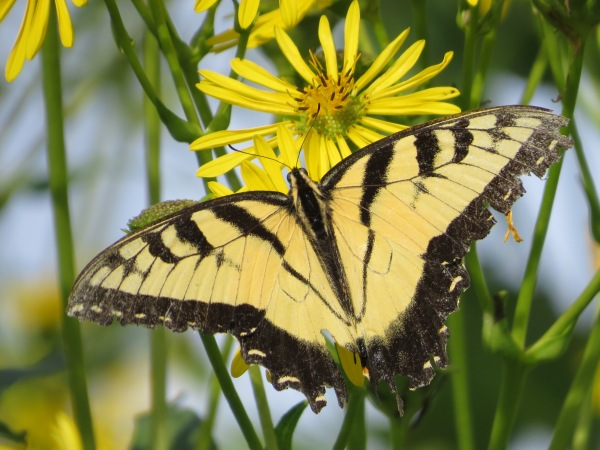 Worn late-summer Eastern Tiger Swallowtail, © 2016 S. D. Stewart