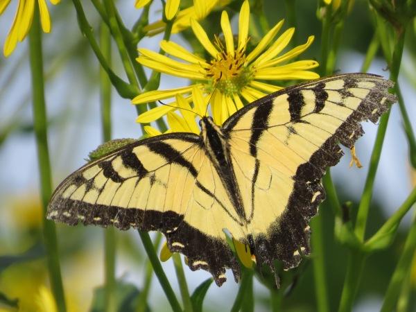 Worn late-summer Eastern Tiger Swallowtail, © 2016 S. D. Stewart