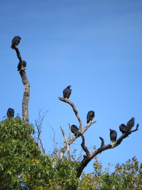 Tree full of roosting Black Vultures, © 2016 S. D. Stewart