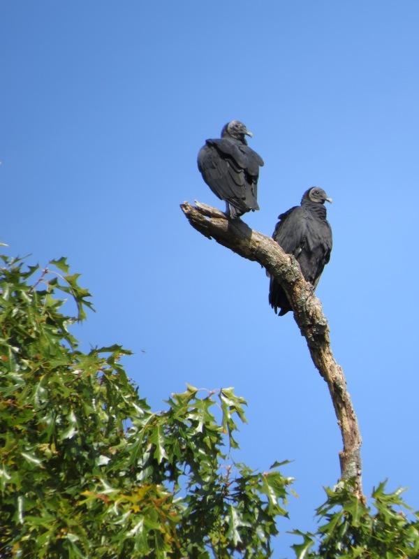 Black Vultures, © 2016 S. D. Stewart