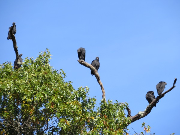 Tree full of roosting Black Vultures, , © 2016 S. D. Stewart