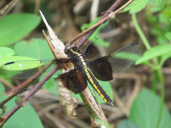 Widow Skimmer with possible epiproct visible