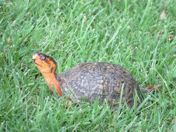 Eastern Box Turtle at North Point State Park, Edgemere, Maryland, USA. © 2017 S. D. Stewart