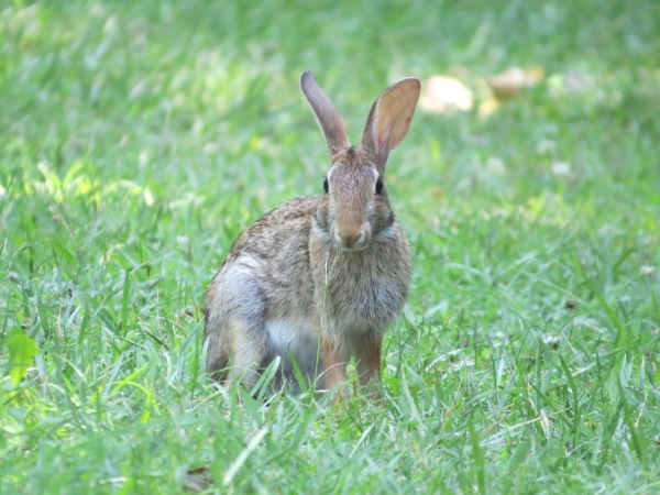 Eastern Cottontail at North Point State Park, Edgemere, Maryland, USA. © 2017 S. D. Stewart