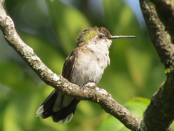 Ruby-throated Hummingbird, female/immature type, at Cromwell Valley Park, Baltimore County, Maryland, USA. © 2017 S. D. Stewart