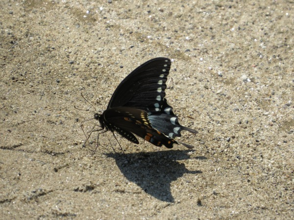 Spicebush Swallowtail at North Point State Park, Edgemere, Maryland, USA. © 2017 S. D. Stewart