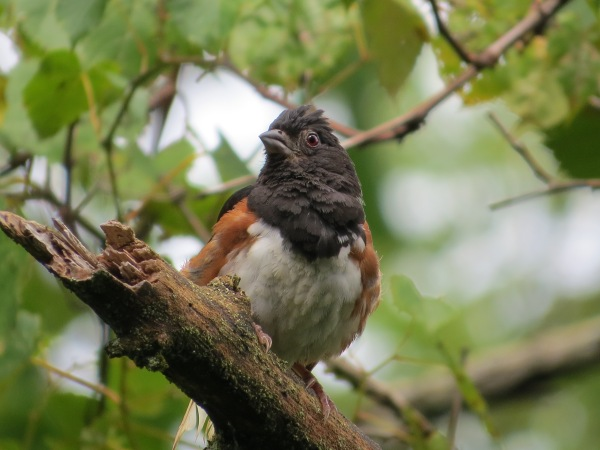Eastern Towhee (male) at Cromwell Valley Park, Baltimore County, Maryland, © 2017 S. D. Stewart