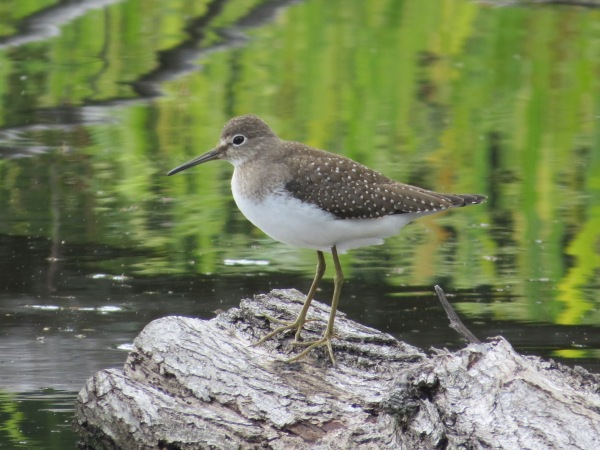 Solitary Sandpiper at Irvine Nature Center, Baltimore County, Maryland, USA. © 2017 S. D. Stewart