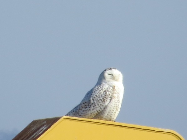 Snowy Owl at Hart-Miller Island, Baltimore County, Maryland, USA. © 2018 S. D. Stewart