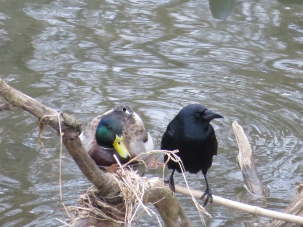 A mallard interfaces with a fish crow at Lake Roland, Baltimore County, Maryland, USA. © 2018 S. D. Stewart