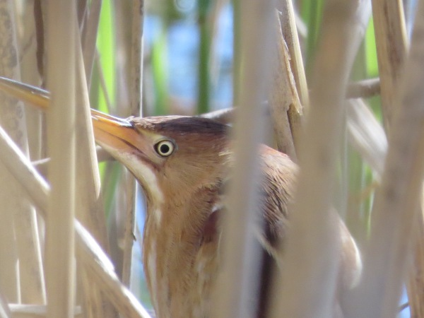 A Least Bittern does its best to avoid the camera at Patterson Park, Baltimore, Maryland, USA. © 2018 S. D. Stewart