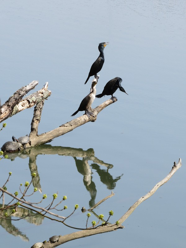 Double-crested cormorants with turtle friends at Lake Roland, Baltimore County, Maryland. © 2021 Sean Stewart